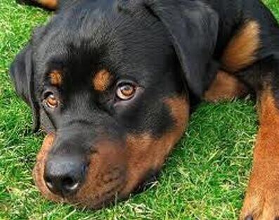 Certificado médico tenencia de animales peligrosos